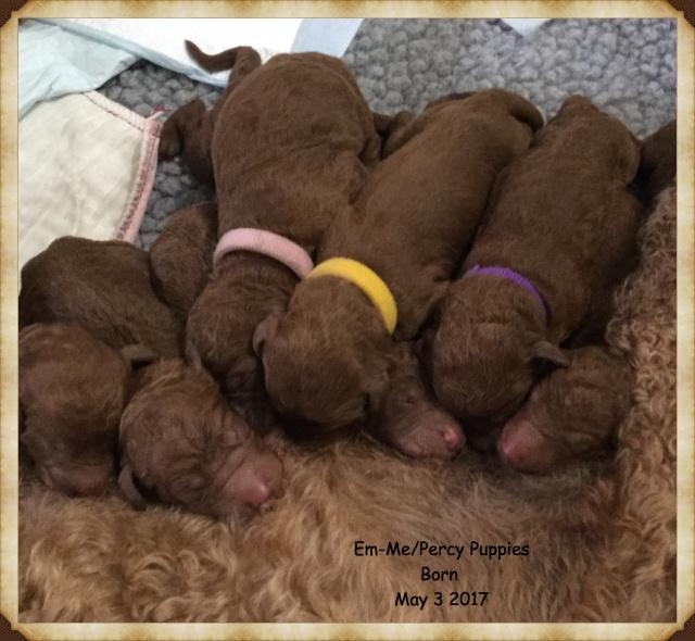 Araeah's Red Standard Poodles